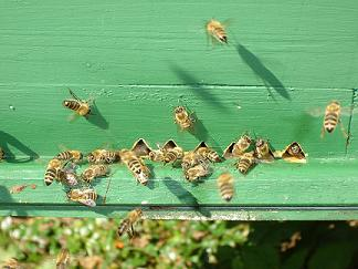 Bees in front of a hive